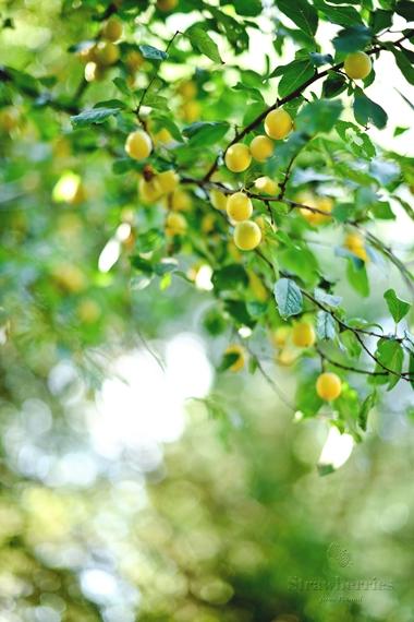 Mirabelki na drzewie